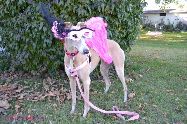 My friend Ziva another Greyhound didnu0027t wear her costume because her mom was working that night and sheu0027ll be going back for the Halloween party. & Halloween Costume Parade - Tales and Tails