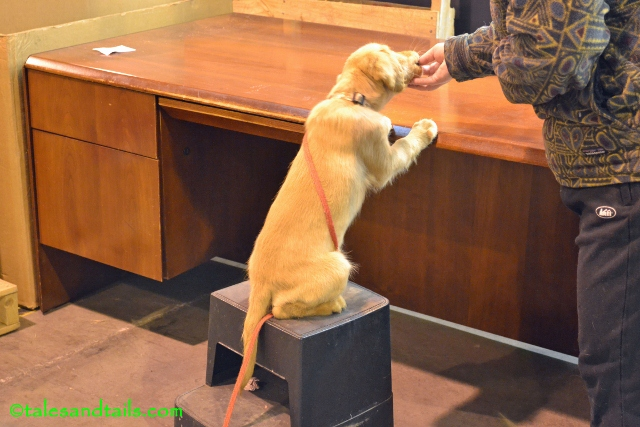 Buzz Climbs on the Desk--TalesAndTails.com