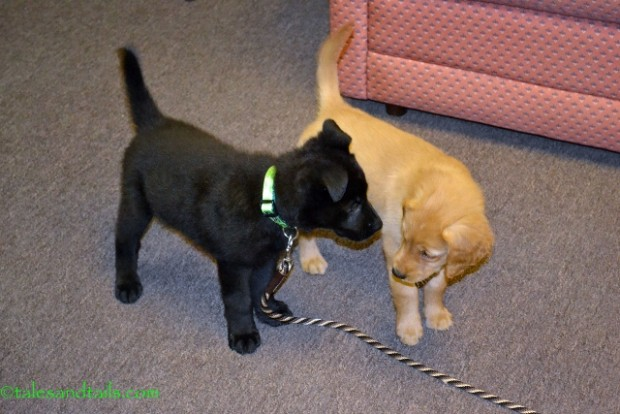 So You Want to Be a SAR Dog -- Tales and Tails