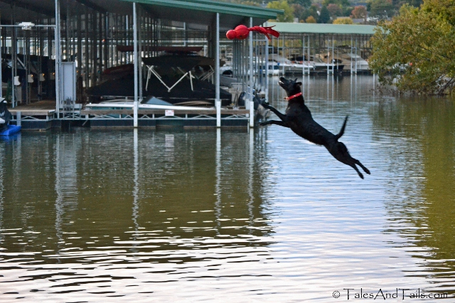 Black Lab A Leaping