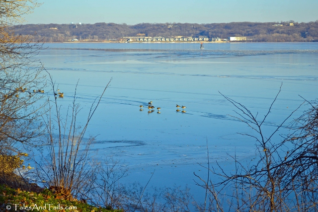 Geese on the Illinois River