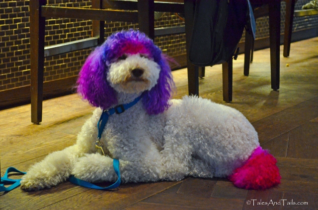 Colorful Poodle -- Tales And Tails