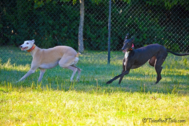 Greyhounds In Motion -- Tales and Tails