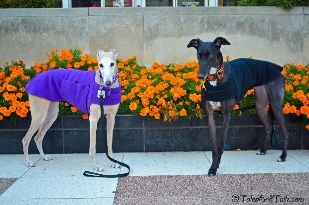 Autumn Greyhounds -- Tales and Tails