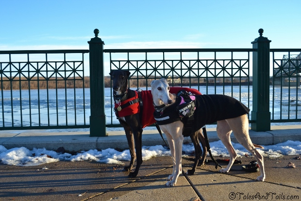 Greyhounds on the Go -- Tales and Tails
