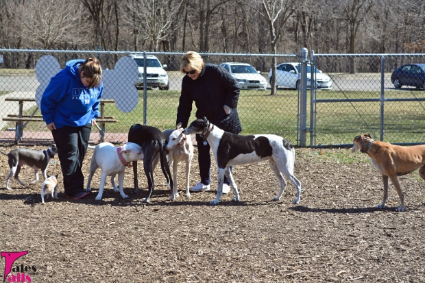 Greyhound Dog Park Invasion -- Tales and Tails