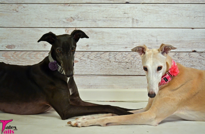Greyhound Girls -- Tales and Tails