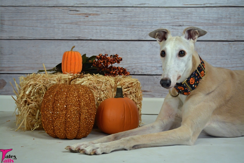 Pumpkin Picking -- Tales and Tails
