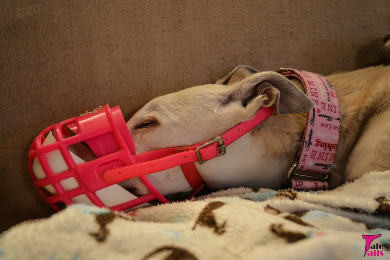Sometimes It S Good To Be A Greyhound Tales And Tails
