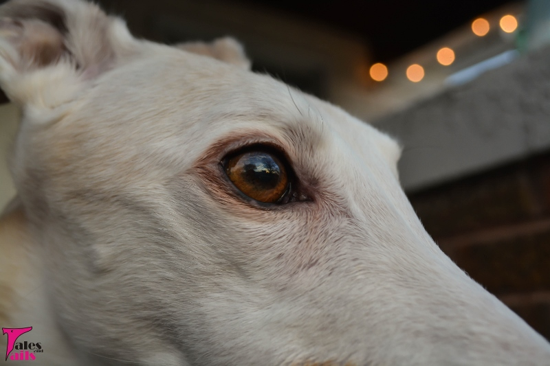As Far As The Sighthound Eye Can See -- Tales and Tails