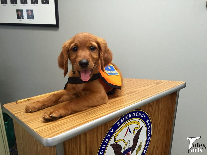 Official Search Dog In Training -- Tales and Tails