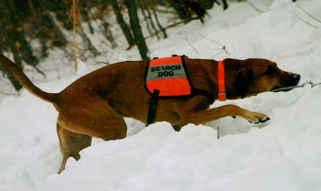 Chief Avalanche dog -- talesandtails.com