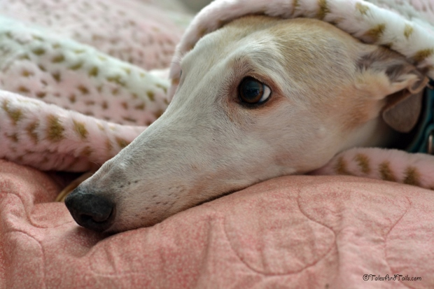 Under Cover Greyhound -- Tales and Tails